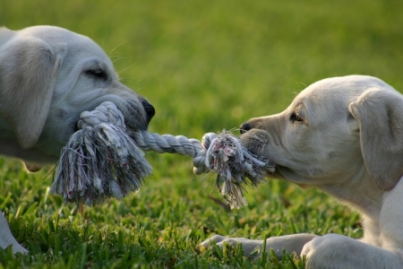 puppies playing tug of war with a knotted rope on the grass
