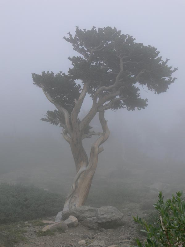 Twisted-pine