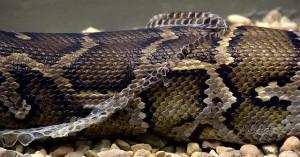 Jan 2014 Snake Molting