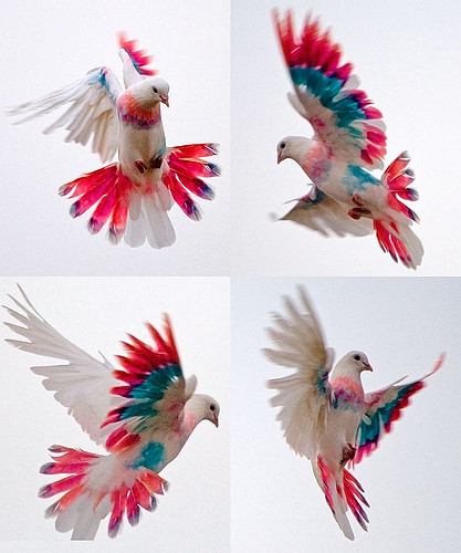 4 pictures of white birds with blue and pink coloration each flying in a different direction