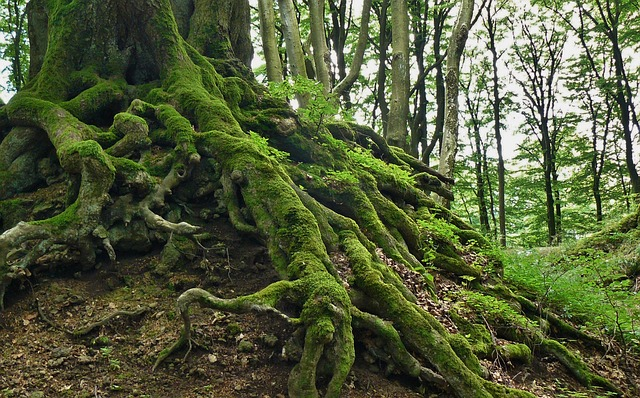 tree roots of a large tree, with moss growing on them