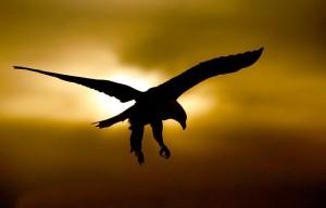 Bald-Eagle-gold-black-SILH-_J7X2112