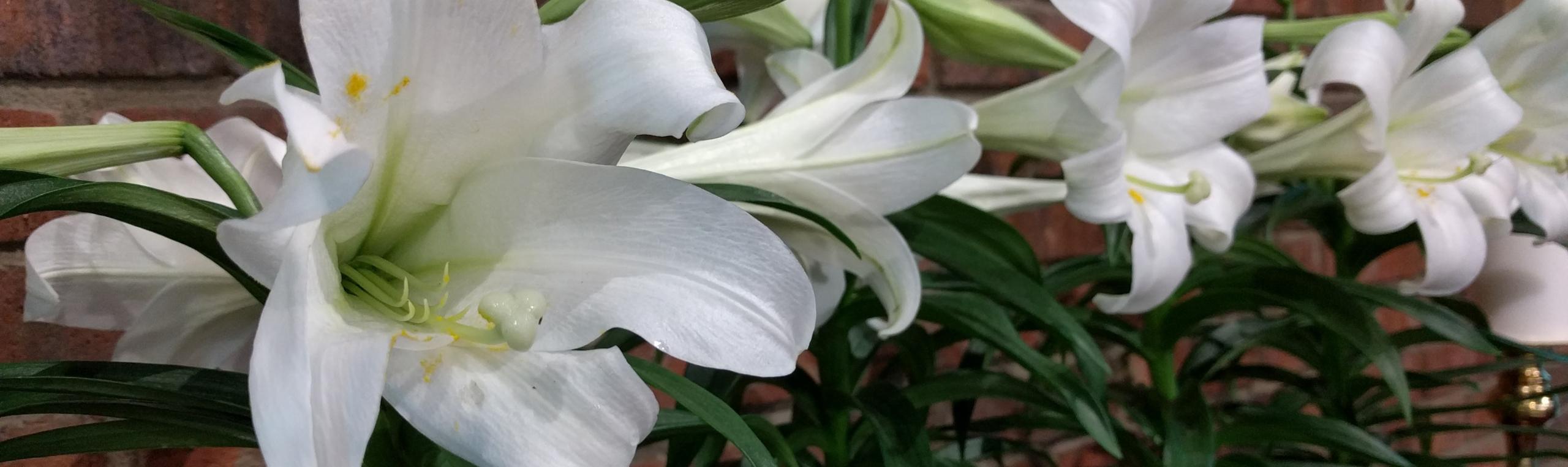 Photo: Easter Lillies