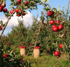 growing apples in the orchard
